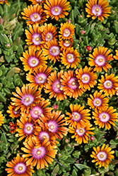 Fire Spinner Ice Plant (Delosperma 'Fire Spinner') at Patuxent Nursery